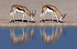 Springbok at a waterhole in Namibia. Two young male Springbok (Antidorcas marsupialis) near a fly covered waterhole in Etosha National Park in Namibia Royalty Free Stock Photos