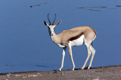 Springbok at a waterhole in Namibia Stock Images
