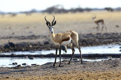 Springbok at waterhole Stock Image