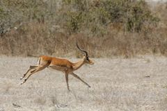 Springbok antelope in Africa savannah running royalty free stock images