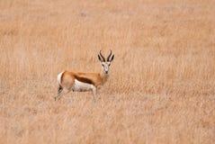Springbok. Wild springbok in South African savannah Stock Photos