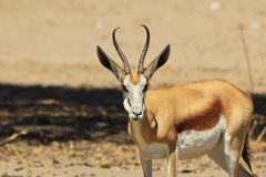 Springbok - Wildlife Background from Africa - Full Mouth Fun and Humor Royalty Free Stock Images