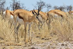 Springbok - Wildlife Background from Africa - Harmonic Feeding Royalty Free Stock Photos