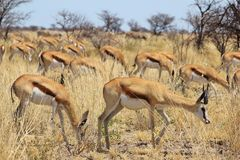 Springbok - Wildlife Background from Africa - Harmony and Tranquility Royalty Free Stock Images