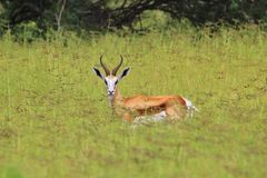Springbok - Wildlife Background - Beautiful Nature Royalty Free Stock Photos