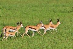 Springbok - Wildlife Background - Power Gallop Stock Image