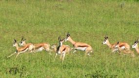 Springbok - Wildlife Background - Power and Speed Royalty Free Stock Photos