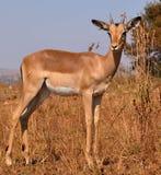 Springbok Royalty Free Stock Photo