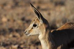 Springbok young, Kalahari desert Stock Images