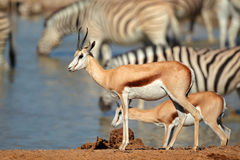 Springbok and zebras at waterhole Royalty Free Stock Photo