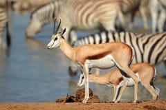Springbok and zebras at waterhole Royalty Free Stock Photo