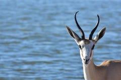 Springbok Zimbabwe Afrique Images stock