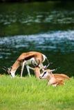 Springbokantilope Stock Afbeeldingen