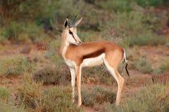Springbokantilope Royalty-vrije Stock Fotografie