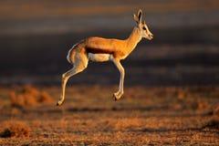Springbokantilope het springen Royalty-vrije Stock Foto's