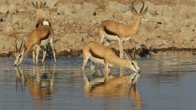 Springbokantilopen bij waterhole stock video