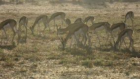 Springbokantilopen die - de woestijn van Kalahari weiden stock footage
