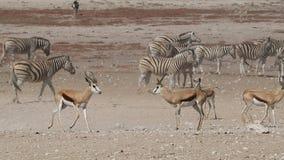 Springbokantilopen en vlakteszebras stock videobeelden