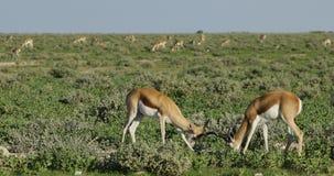 Springbokantilopen op Etosha-vlaktes stock footage