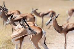 Springbokken Stock Afbeelding