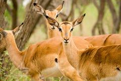 Springbokken Royalty-vrije Stock Fotografie