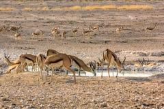 Springboks à la piscine Photo stock