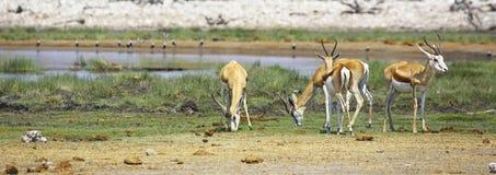 Springboks à un point d'eau en parc national d'Etosha Image libre de droits