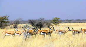 Springboks Royalty Free Stock Images