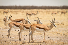 Springboks. Wild springboks in Etosha, Namibia Royalty Free Stock Photography