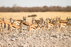 Springboks. Herd ,safari Etosha, Namibia Africa Royalty Free Stock Photos