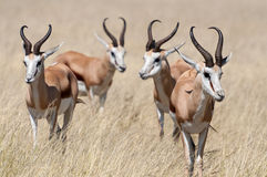 Springboks. A group of Springboks in the Etosha national park in Namibia Stock Photography