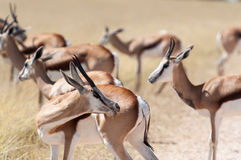 Springboks. A group of Springboks in the Etosha national park in Namibia Stock Image