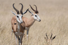 Springboks Photographie stock