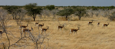 Springboks. In Etosha National Park Namibia Stock Images