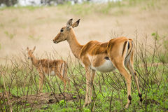Springboks. In the wild africa nature Royalty Free Stock Photography