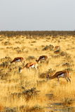 Springboks. Several springboks grazing in the african savanna Royalty Free Stock Images