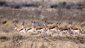 springboks Royaltyfri Foto