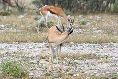 springboks Royaltyfri Fotografi