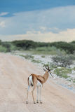 springboks Royaltyfri Bild