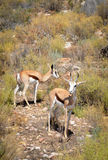 Springboks antelope, South Africa. Stock Photos