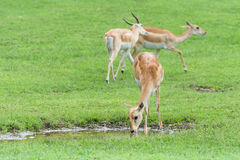 Springboks (Antidorcas marsupialis) in field Royalty Free Stock Photo