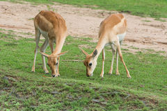 Springboks (Antidorcas marsupialis) grazing in fie Stock Photography