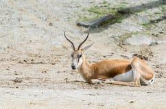 Springboks Antidorcas marsupialis Stock Photography
