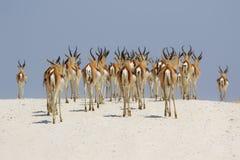 Springboks au parc national d'etosha Images stock