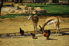 Springboks and chickens (I) Royalty Free Stock Photos