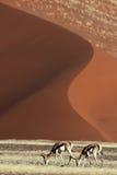 Springboks devant les dunes rouges de désert Image libre de droits