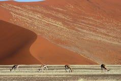 Springboks devant les dunes rouges de désert de la Namibie Photo libre de droits