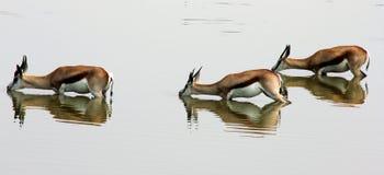 Springboks Drinking Royalty Free Stock Images