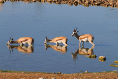 Springboks drinking Stock Photo