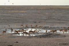 Springboks en parc d'Etosha en Namibie Image libre de droits